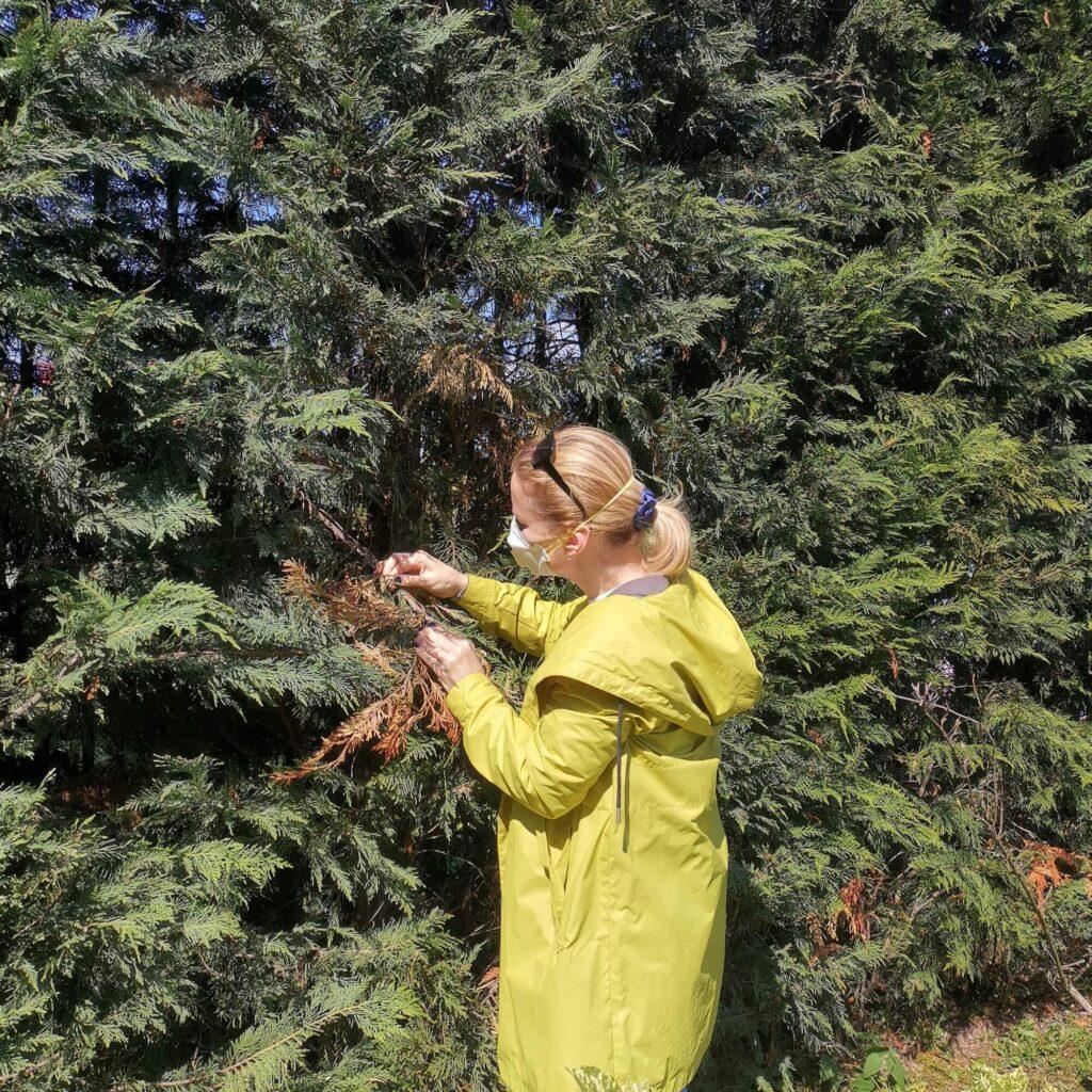Обследование хвойных на предмет заселения кипарисовой радужной златкой