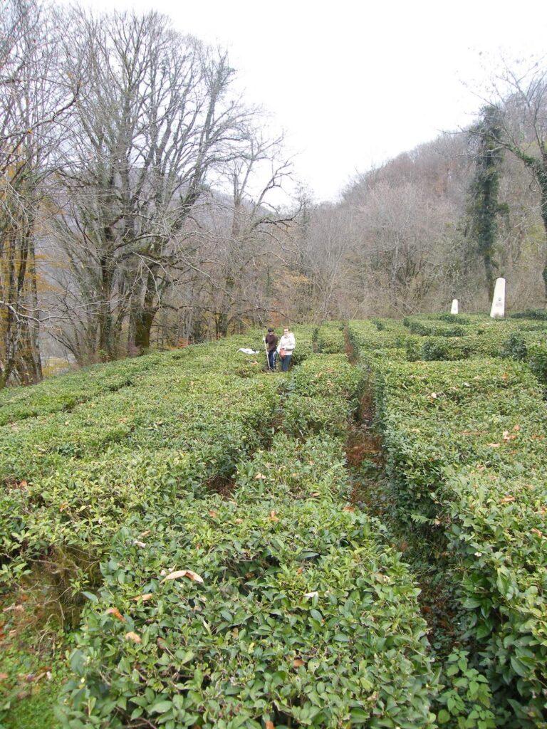 Обследование на старейшей плантации чая в Солохауле