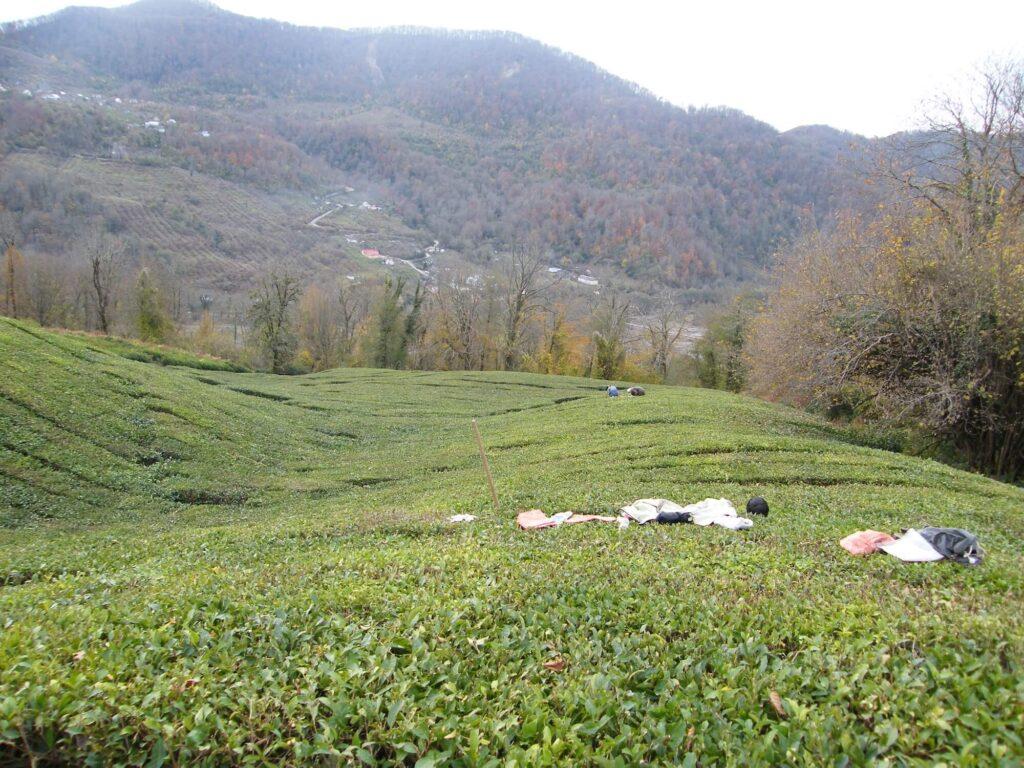 Обследование производственных чайных плантаций