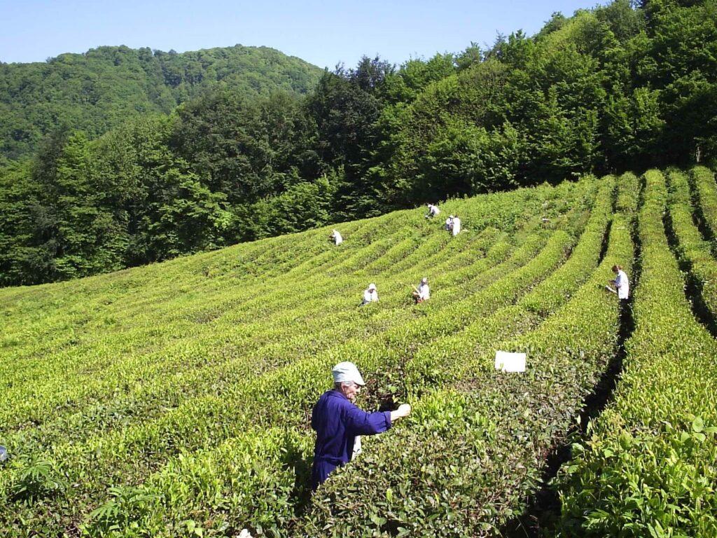 Опыт с удоборениями на чае. Проведение учетов